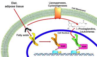 PPAR agonist - PPAR-alpha and-gamma pathways