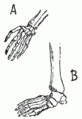 PSM V52 D544 Human hands and feet.png