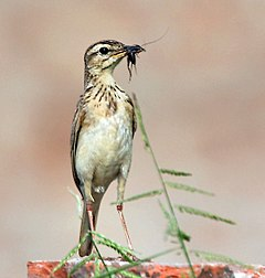 Paddyfield Pipit (Anthuis rufulus) with feed for Juveniles at Kolkata I IMG 7773.jpg