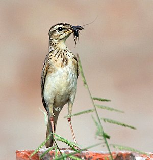 Paddyfield pipit - Carrying food for young (Kolkata, West Bengal, India)