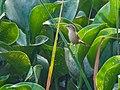 Paddyfield Warbler (30320415451).jpg