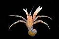 Paguridae (MNHN-IU-2010-4877).jpeg