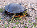 Painted Turtle (14541060047).jpg