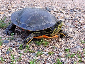 Painted turtle - Image: Painted Turtle (14541060047)
