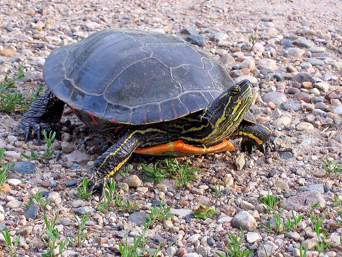 Painted Turtle Wikipedia