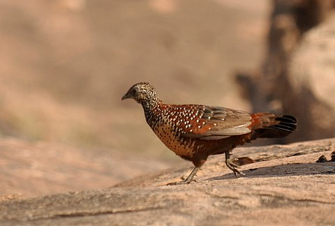 painted francolin crossing the road
