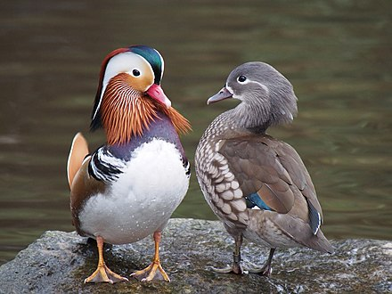 Mandarin ducks, male (left) and female (right), illustrating the dramatic difference between sexes Pair of mandarin ducks.jpg