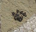 Paleoallium billgenseli SR 00-05-23 A.jpg