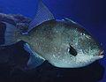 Palma Aquarium - Pez gatillo.jpg