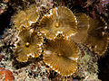 Palythoa grandis (Sun Zoanthids).jpg