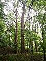 Památné stromoví Bransoudov 08.jpg