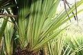 Pandanus baptistii 5zz.jpg