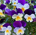 Pansies at Des Moines, WA.jpg