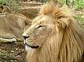 Panthera leo 1.jpg