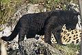 Panthera onca zoo Salzburg 2009 05.jpg