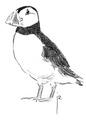 Papegaaiduiker Fratercula arctica Jos Zwarts 2.tif