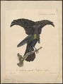 Paradisea atra - 1825-1834 - Print - Iconographia Zoologica - Special Collections University of Amsterdam - UBA01 IZ15700157.tif