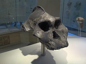 "Paranthropus aethiopicus - Paranthropus aethiopicus skull (""Black Skull"") replica"