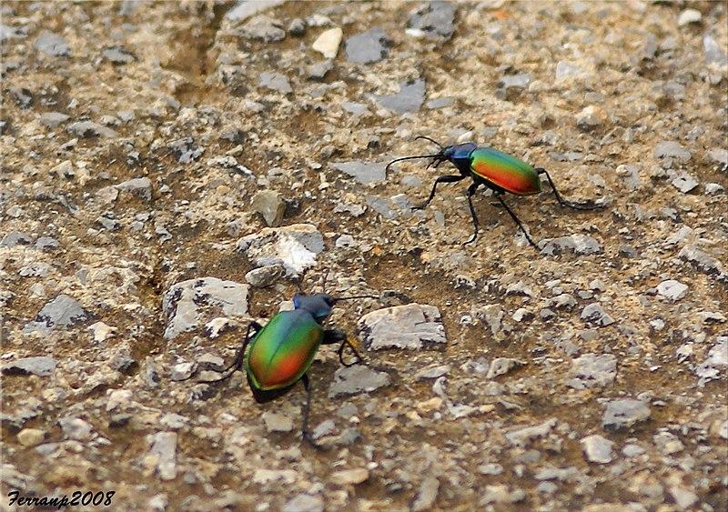 File:Parc Natural del Garraf 54 - escarabats amorosos - escarabajos amorosos - loving scarabs - Calosoma sycophanta (2582298308).jpg