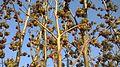 Parrotia persica in Blüten.jpg