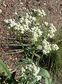 Parthenium integrifolium kz5.jpg
