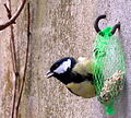 Parus major feeding.jpg