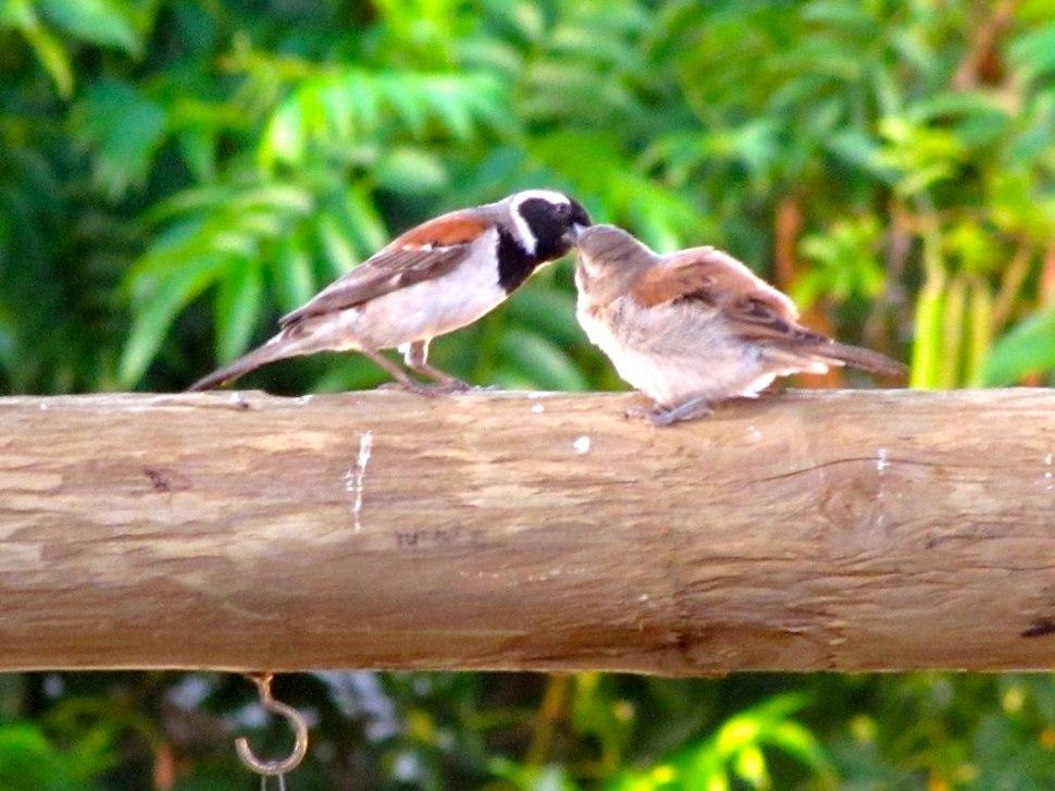 Passer melanurus chick and male