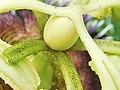 Passiflora edulis-Ovary 02.jpg