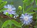 Passiflora incarnata1Hunda.jpg