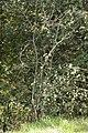 Pear Rust - Gymnosporangium sabinae on Pyrus cf. pyraster (31646424238).jpg