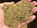 Pearl millet after combine harvesting.jpg