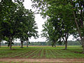 Pecan and cotton alley cropping in Florida (26219448802).jpg