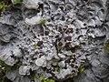 Pectenia cyanoloma 407182.jpg