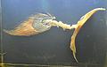 Pectoral fin coelacanth.jpg
