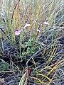 Pedicularis borealis 05.jpg