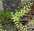 Pellaea andromedifolia 1.jpg