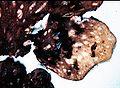 Peltigera canina-4.jpg