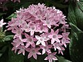 Pentas Cornia from Lalbagh flower show Aug 2013 8262.JPG