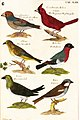Pepys copy of Willughby's Ornithology.jpg