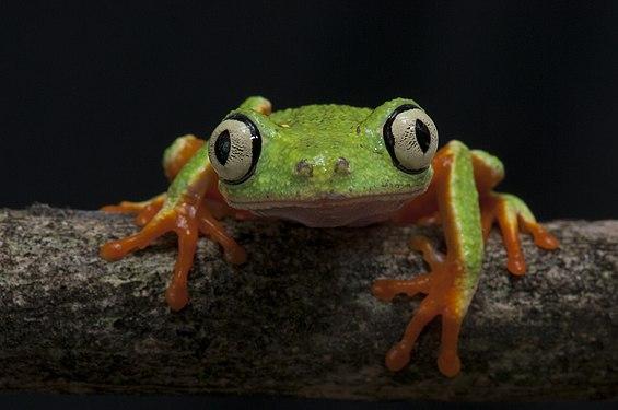 Perereca - verde - Agalychnis aspera.jpg