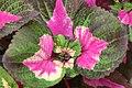 Perilla frutescens Magilla 0zz.jpg