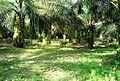 Perkebunan kelapa sawit milik rakyat (47).JPG