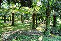 Perkebunan kelapa sawit milik rakyat (78).JPG