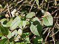 Persicaria chinensis var. ovalifolia (6368789443).jpg