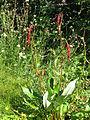 Persicaria griffithii (21390038869).jpg