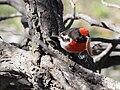 Petroica goodenovii -Mulligans Flat Nature Reserve, Canberra, Australia-8 (1).jpg
