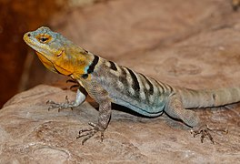 Petrosaurus thalassinus - Wilhelma.jpg