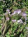Phacelia tanacetifolia1 13062009.JPG