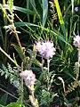 Phacelia tanacetifolia 93962163.jpg