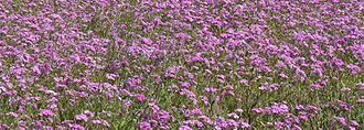 Phlox drummondii - Phlox drummondii along the margin of a north Florida highway